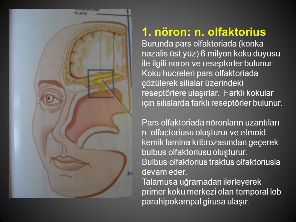 1. nöron: n. olfaktorius