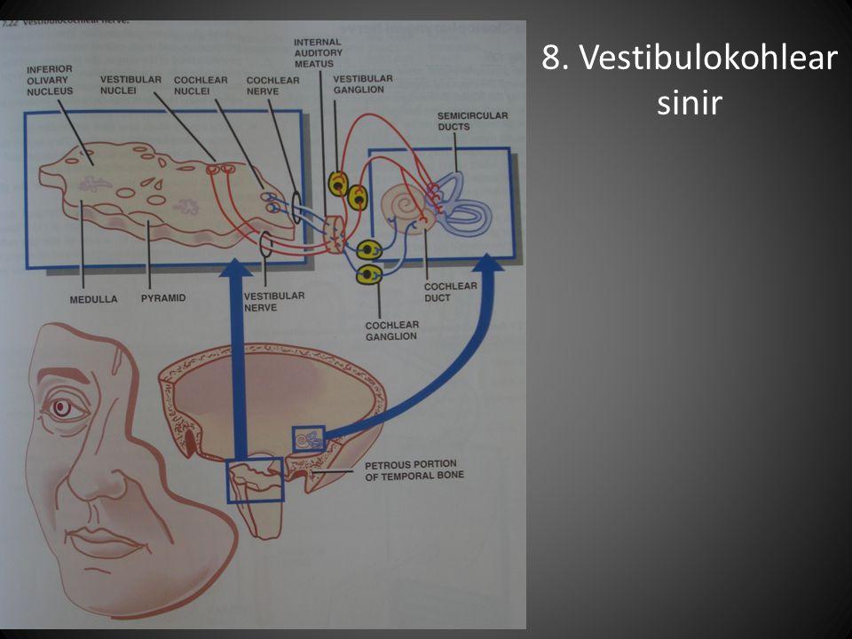 8. Vestibulokohlear sinir