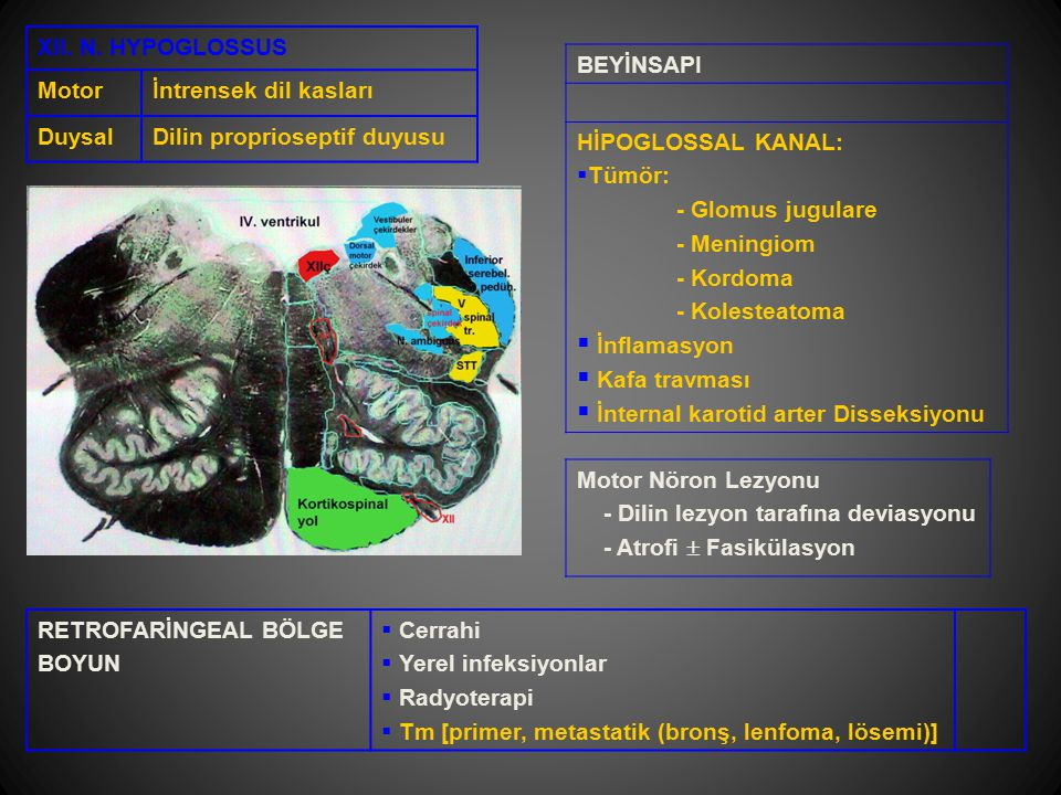 XII. N. HYPOGLOSSUS Motor. İntrensek dil kasları. Duysal. Dilin proprioseptif duyusu. BEYİNSAPI.