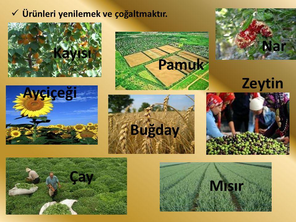 Nar Kayısı Pamuk Zeytin Ayçiçeği Buğday Çay Mısır