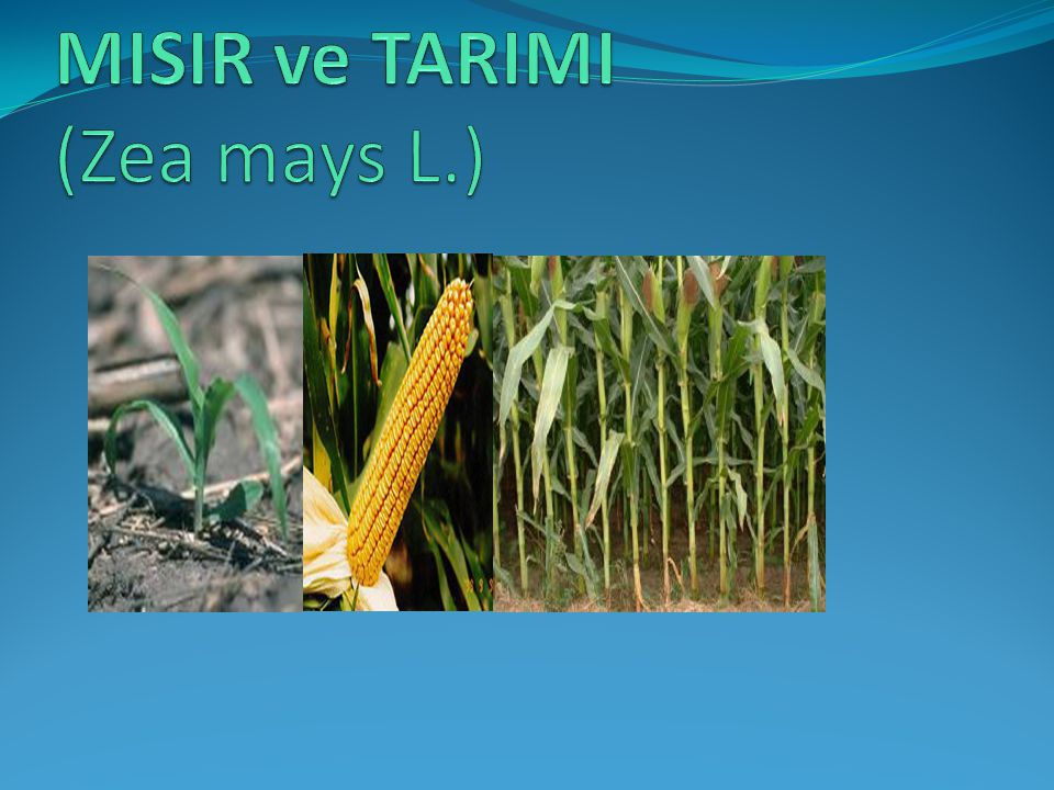 MISIR ve TARIMI (Zea mays L.)
