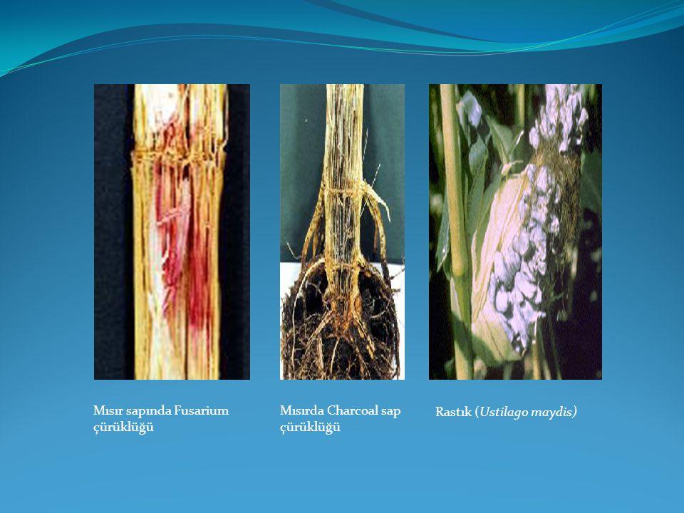 Mısır sapında Fusarium çürüklüğü
