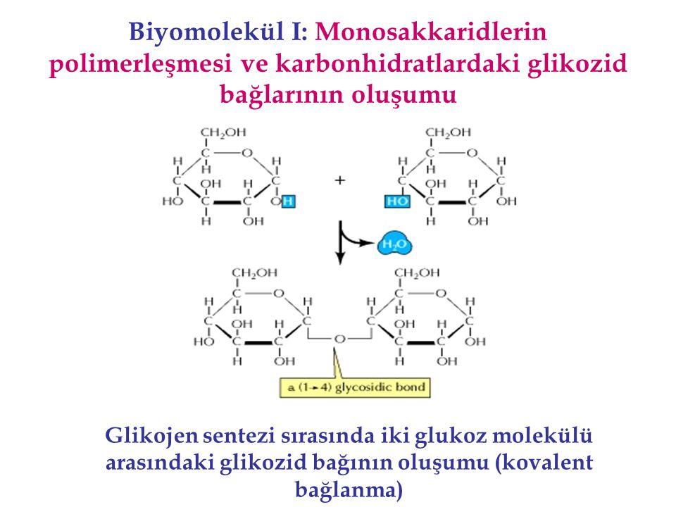 Biyomolekül I: Monosakkaridlerin polimerleşmesi ve karbonhidratlardaki glikozid bağlarının oluşumu