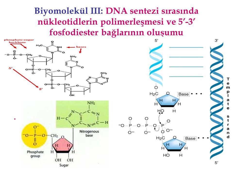 Biyomolekül III: DNA sentezi sırasında nükleotidlerin polimerleşmesi ve 5'-3' fosfodiester bağlarının oluşumu