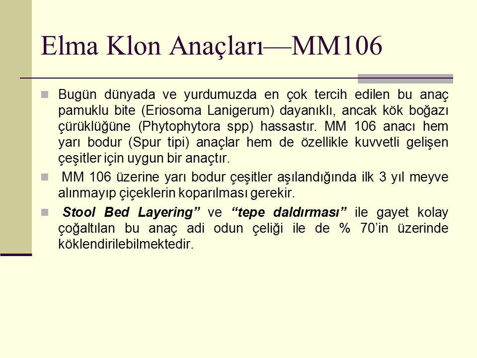 Elma Klon Anaçları—MM106