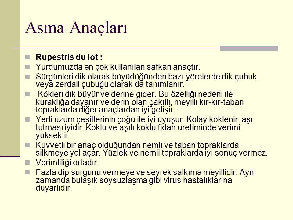 Asma Anaçları Rupestris du lot :