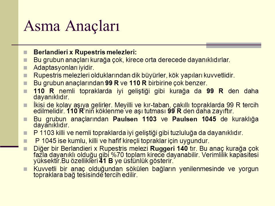 Asma Anaçları Berlandieri x Rupestris melezleri: