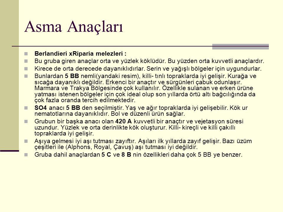 Asma Anaçları Berlandieri xRiparia melezleri :