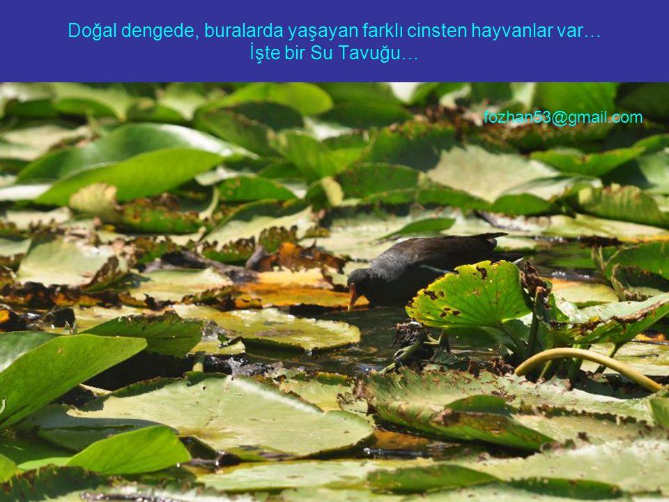 Doğal dengede, buralarda yaşayan farklı cinsten hayvanlar var… İşte bir Su Tavuğu…