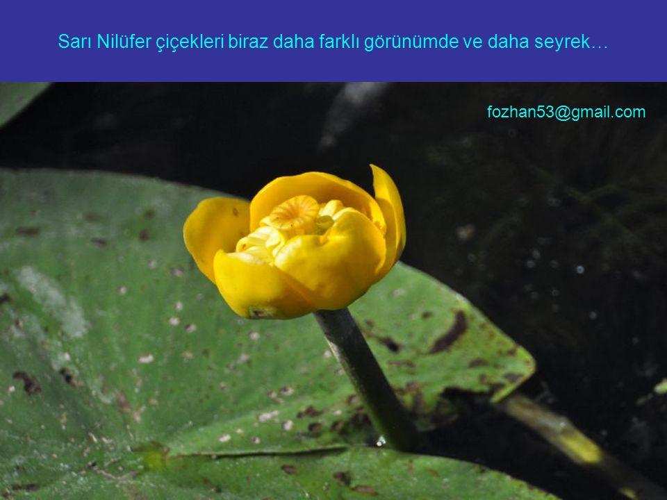 Sarı Nilüfer çiçekleri biraz daha farklı görünümde ve daha seyrek…