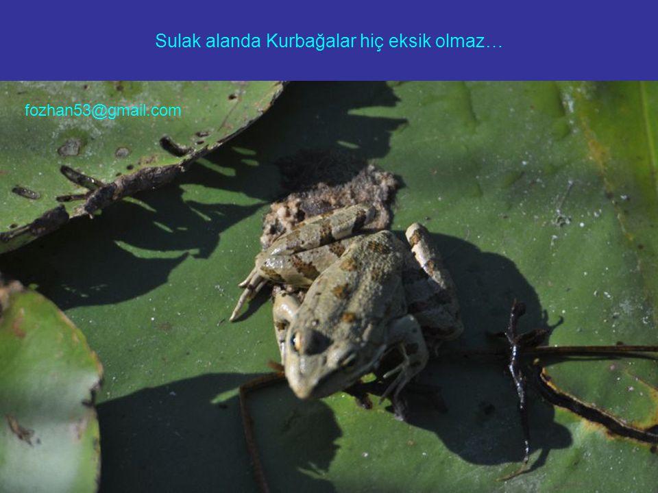 Sulak alanda Kurbağalar hiç eksik olmaz…