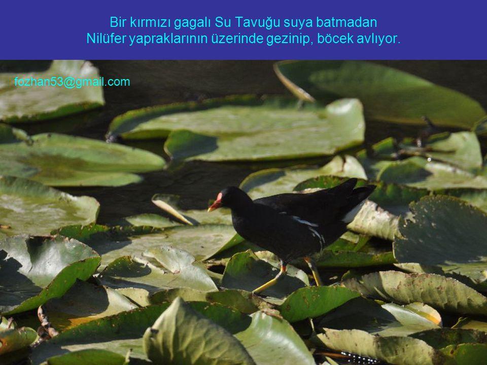 Bir kırmızı gagalı Su Tavuğu suya batmadan Nilüfer yapraklarının üzerinde gezinip, böcek avlıyor.