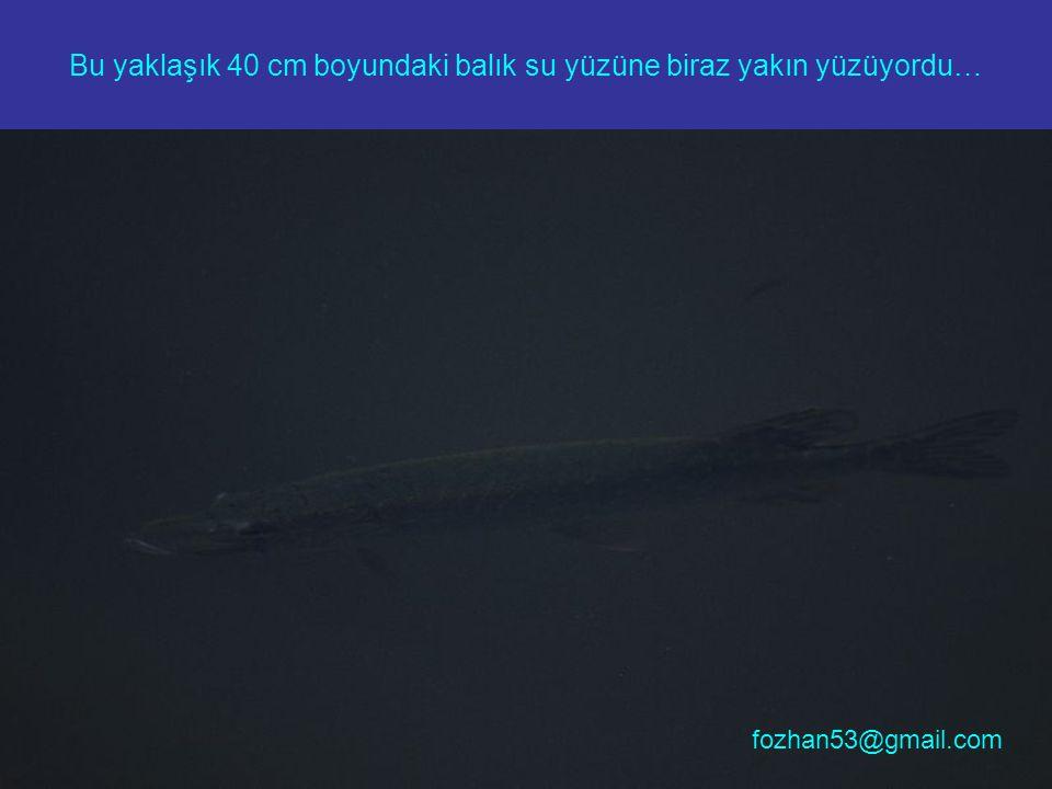 Bu yaklaşık 40 cm boyundaki balık su yüzüne biraz yakın yüzüyordu…