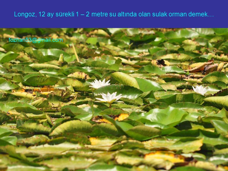 Longoz, 12 ay sürekli 1 – 2 metre su altında olan sulak orman demek…