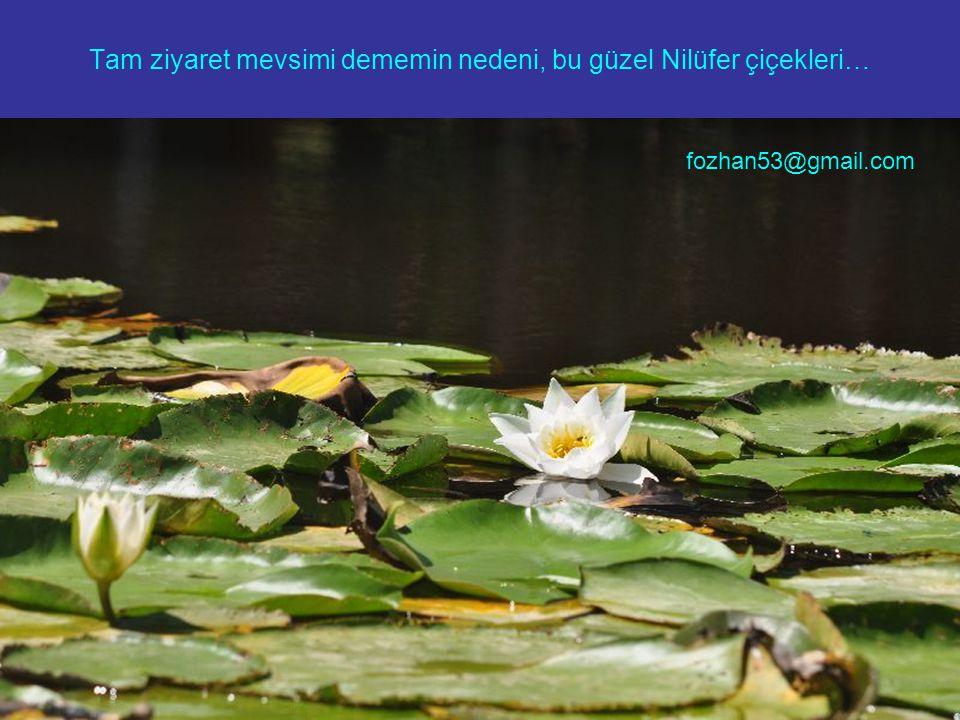 Tam ziyaret mevsimi dememin nedeni, bu güzel Nilüfer çiçekleri…