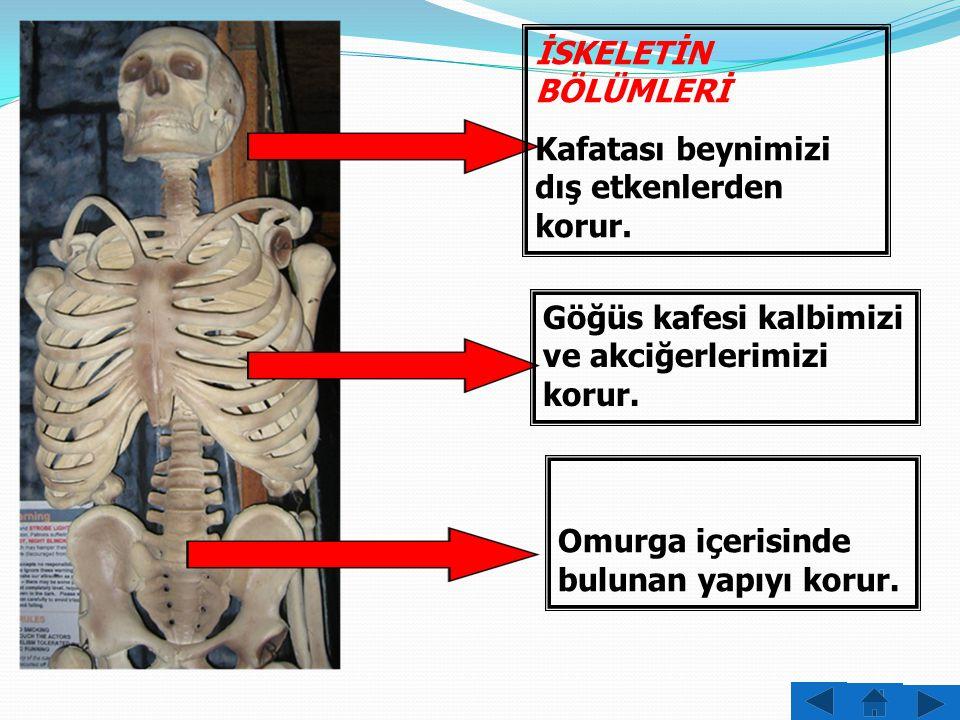 İSKELETİN BÖLÜMLERİ Kafatası beynimizi dış etkenlerden korur. Göğüs kafesi kalbimizi ve akciğerlerimizi korur.