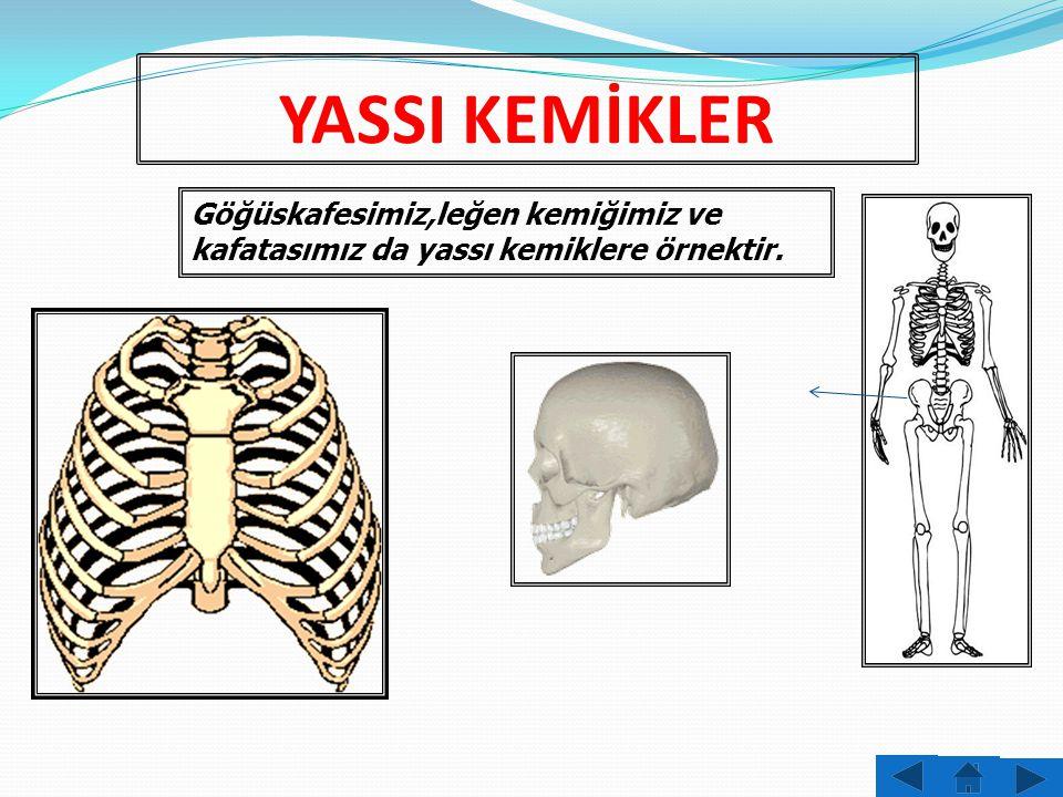 YASSI KEMİKLER Göğüskafesimiz,leğen kemiğimiz ve kafatasımız da yassı kemiklere örnektir.
