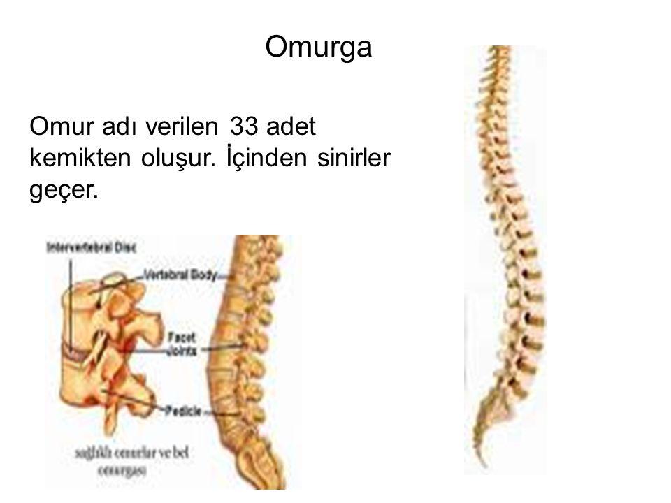 Omurga Omur adı verilen 33 adet kemikten oluşur. İçinden sinirler geçer.