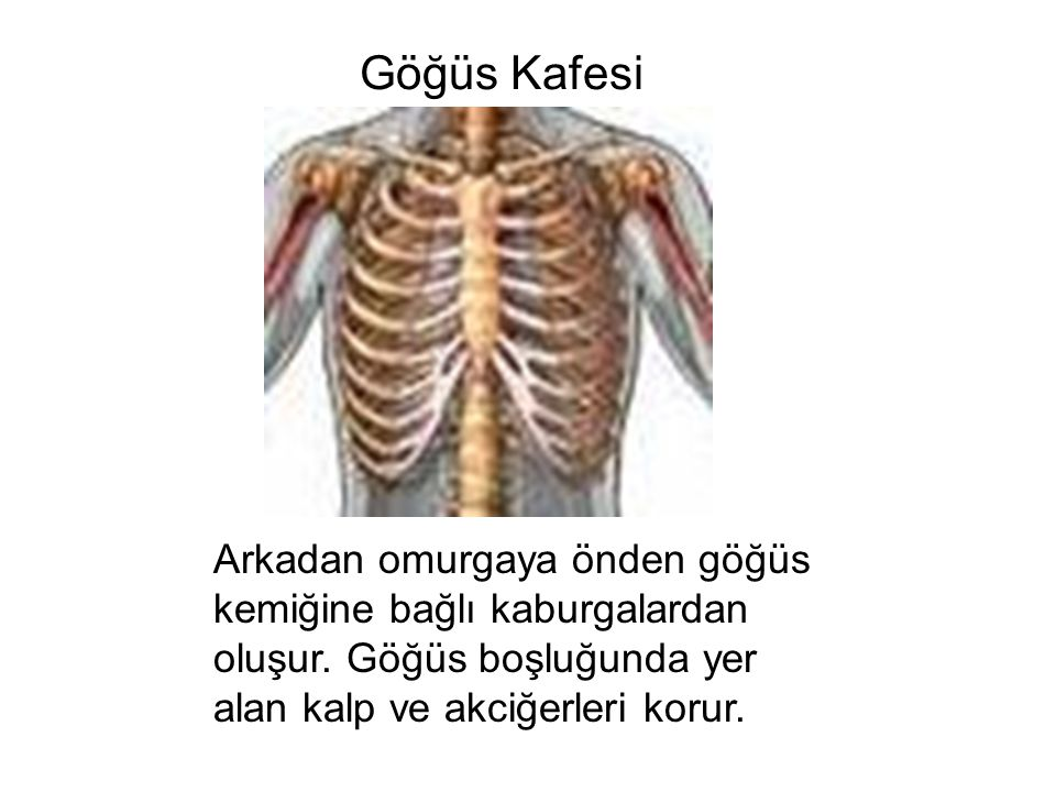 Göğüs Kafesi Arkadan omurgaya önden göğüs kemiğine bağlı kaburgalardan oluşur.