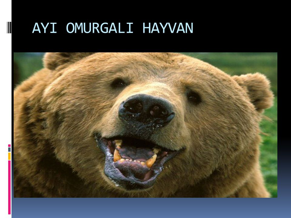 AYI OMURGALI HAYVAN