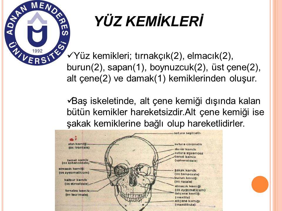 YÜZ KEMİKLERİ Yüz kemikleri; tırnakçık(2), elmacık(2), burun(2), sapan(1), boynuzcuk(2), üst çene(2), alt çene(2) ve damak(1) kemiklerinden oluşur.