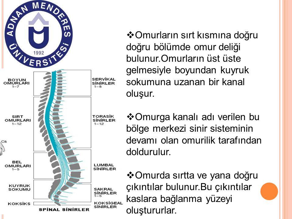 Omurların sırt kısmına doğru doğru bölümde omur deliği bulunur