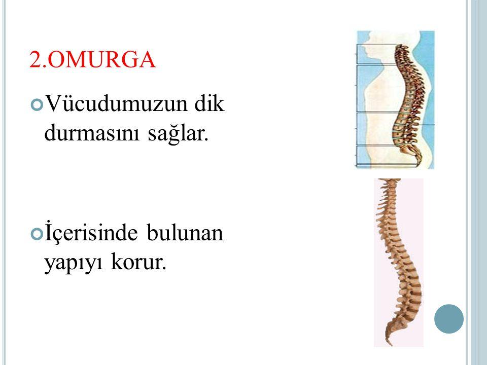 2.OMURGA Vücudumuzun dik durmasını sağlar. İçerisinde bulunan yapıyı korur.