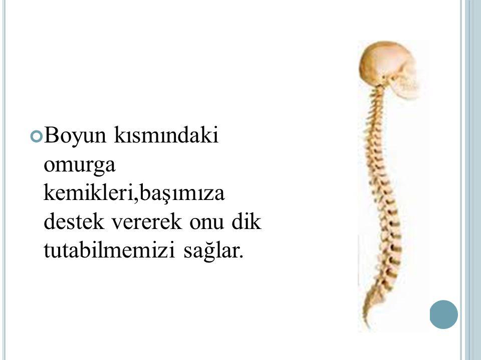 Boyun kısmındaki omurga kemikleri,başımıza destek vererek onu dik tutabilmemizi sağlar.