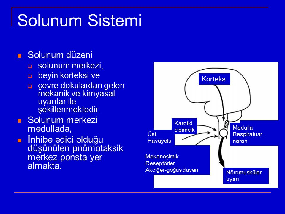 Solunum Sistemi Solunum düzeni Solunum merkezi medullada,