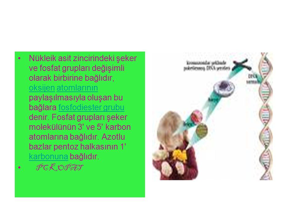 Nükleik asit zincirindeki şeker ve fosfat grupları değişimli olarak birbirine bağlıdır, oksijen atomlarının paylaşılmasıyla oluşan bu bağlara fosfodiester grubu denir. Fosfat grupları şeker molekülünün 3 ve 5 karbon atomlarına bağlıdır. Azotlu bazlar pentoz halkasının 1 karbonuna bağlıdır.