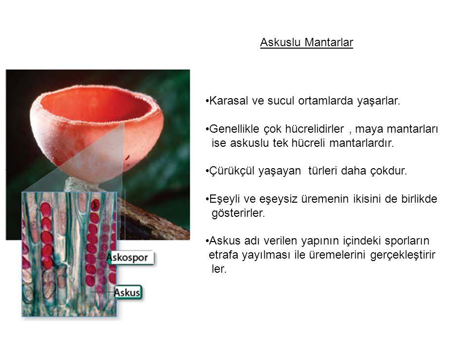 Askuslu Mantarlar Karasal ve sucul ortamlarda yaşarlar. Genellikle çok hücrelidirler , maya mantarları.