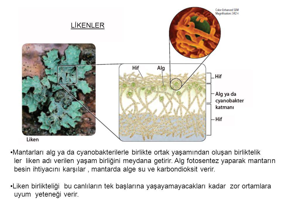 LİKENLER Mantarları alg ya da cyanobakterilerle birlikte ortak yaşamından oluşan birliktelik.