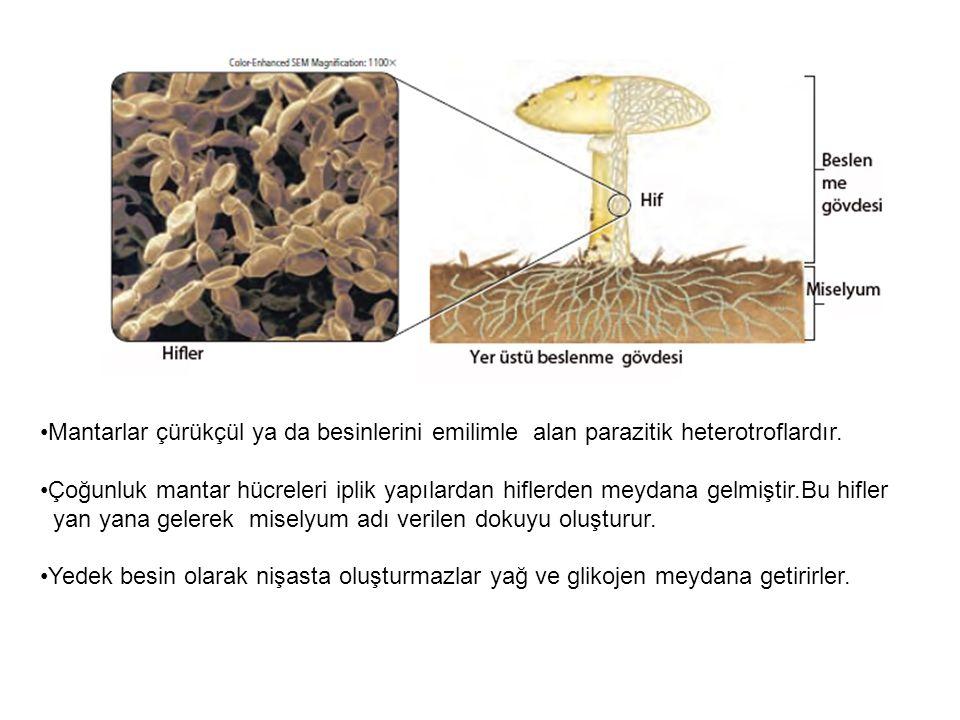 Mantarlar çürükçül ya da besinlerini emilimle alan parazitik heterotroflardır.