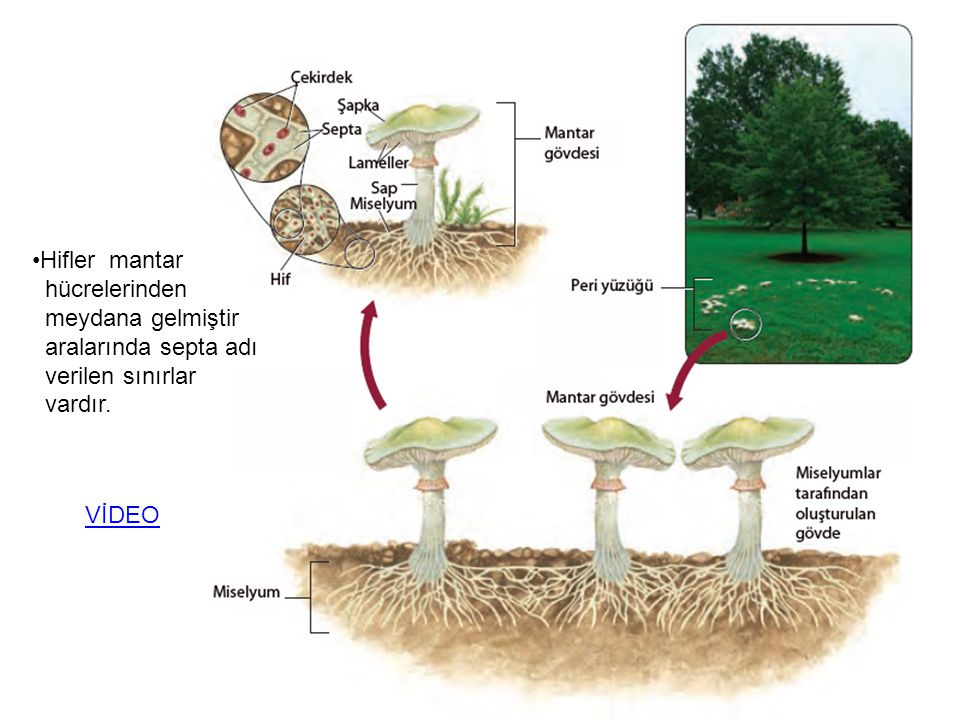 Hifler mantar hücrelerinden meydana gelmiştir aralarında septa adı verilen sınırlar vardır. VİDEO