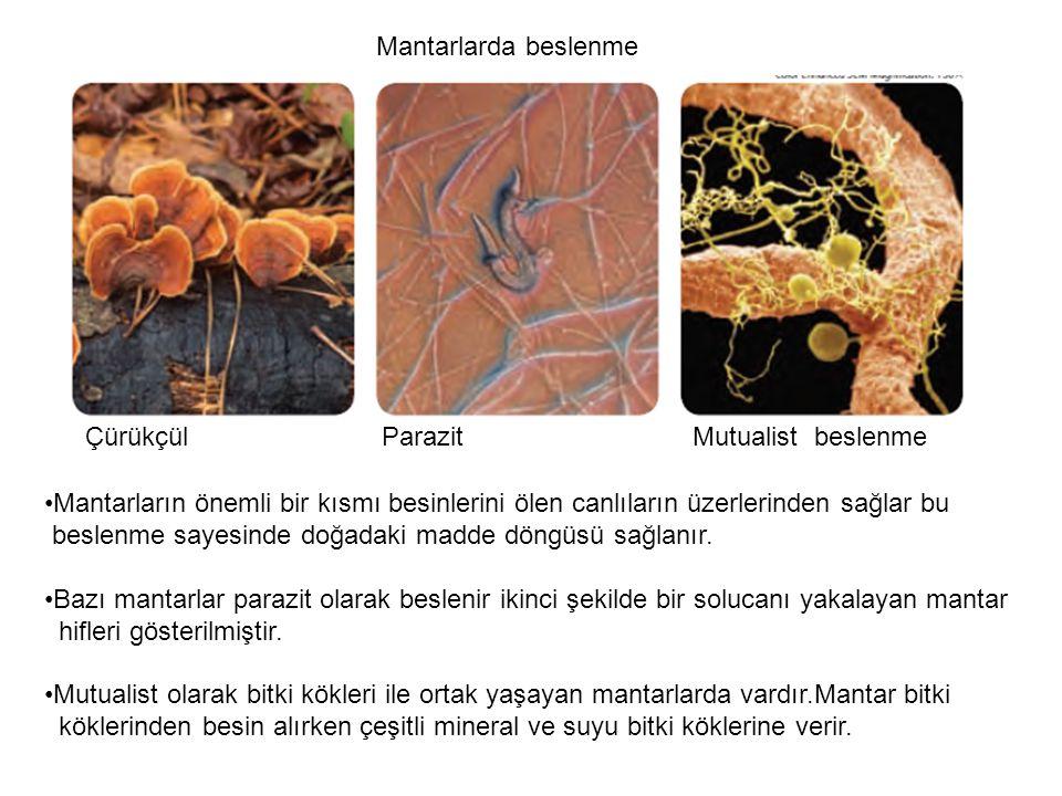 Mantarlarda beslenme Çürükçül Parazit Mutualist beslenme.