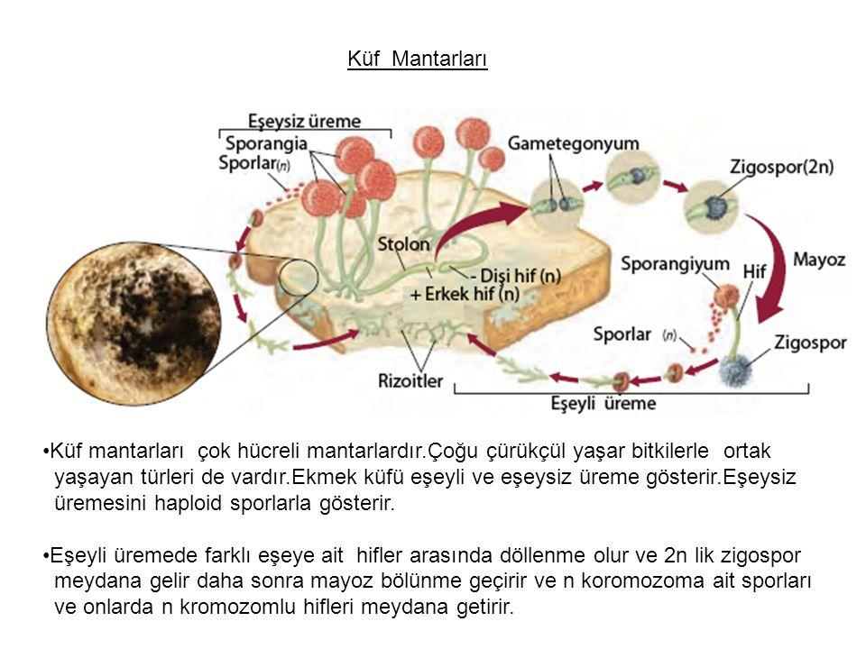 Küf Mantarları Küf mantarları çok hücreli mantarlardır.Çoğu çürükçül yaşar bitkilerle ortak.