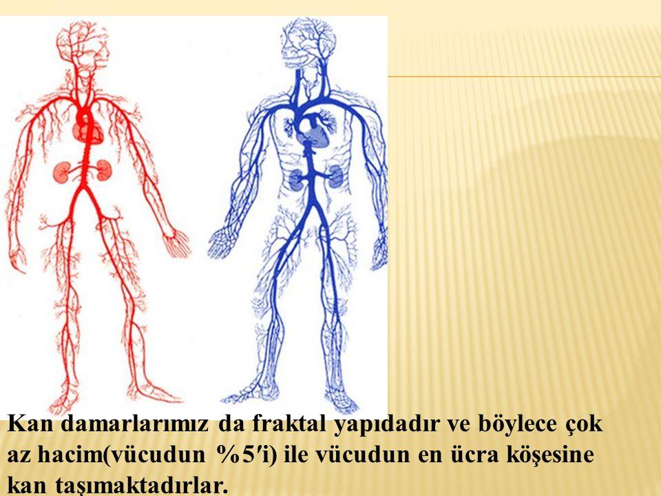 Kan damarlarımız da fraktal yapıdadır ve böylece çok az hacim(vücudun %5′i) ile vücudun en ücra köşesine kan taşımaktadırlar.
