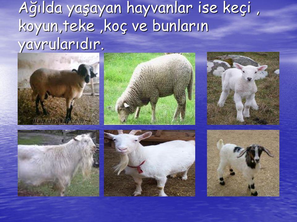 Ağılda yaşayan hayvanlar ise keçi , koyun,teke ,koç ve bunların yavrularıdır.