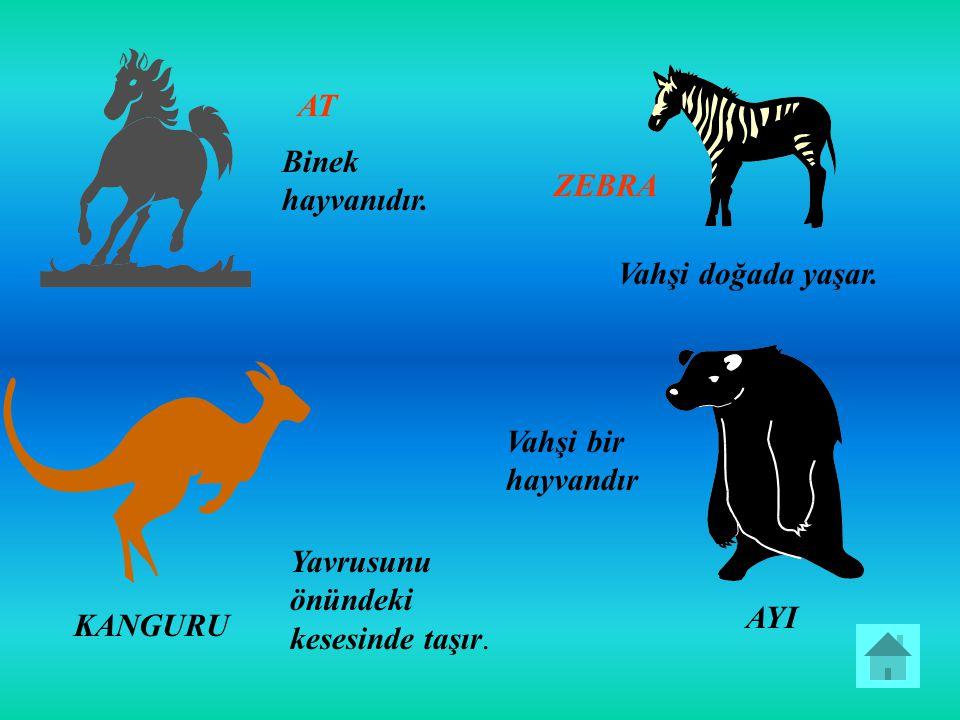 AT Binek hayvanıdır. ZEBRA. Vahşi doğada yaşar. Vahşi bir hayvandır. Yavrusunu önündeki kesesinde taşır.