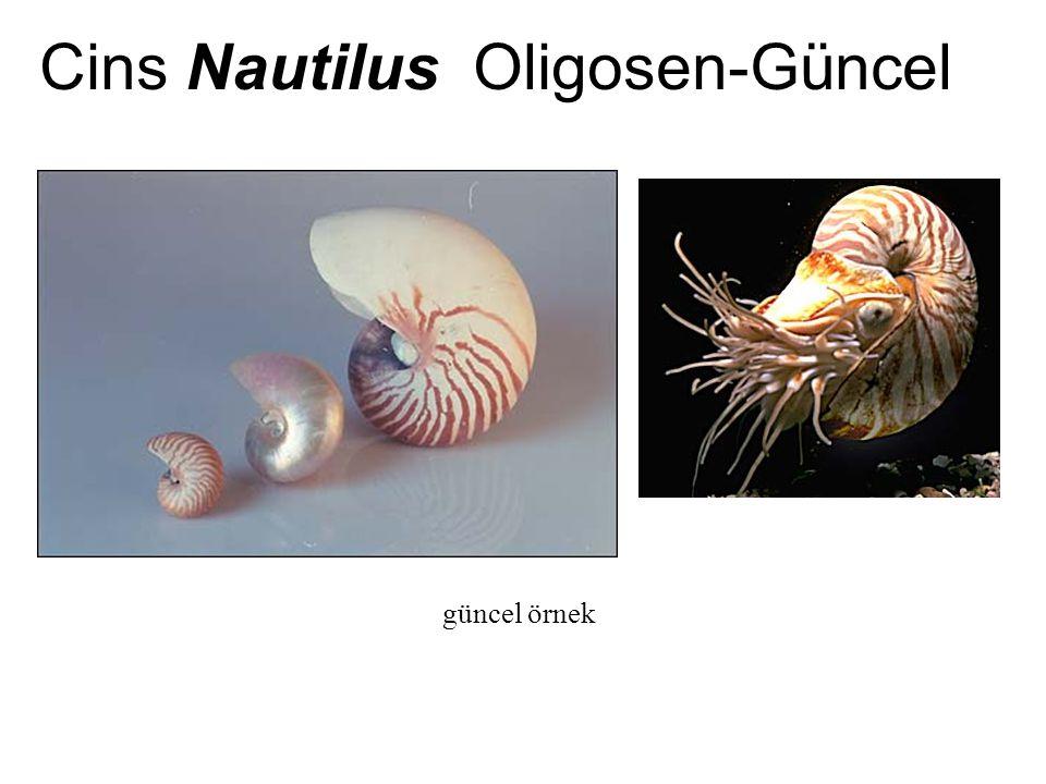 Cins Nautilus Oligosen-Güncel