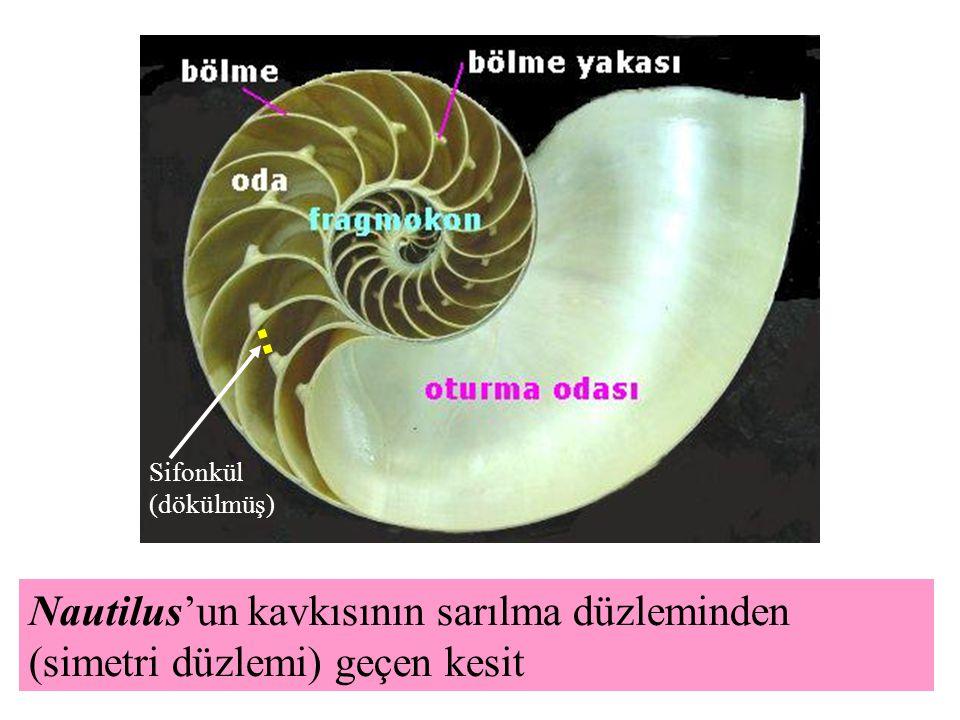 Sifonkül (dökülmüş) Nautilus'un kavkısının sarılma düzleminden (simetri düzlemi) geçen kesit