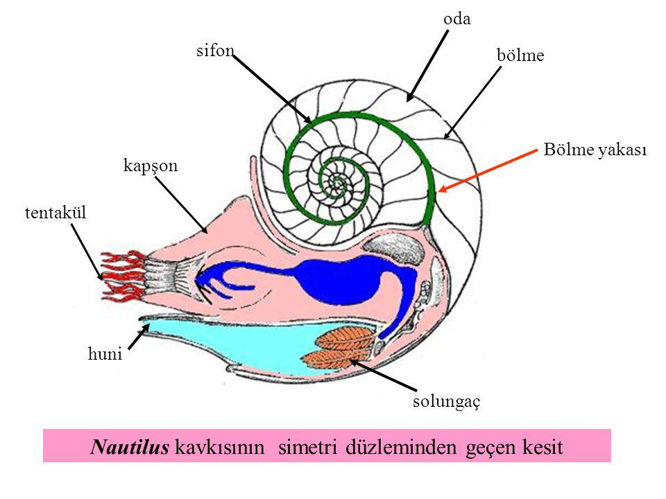Nautilus kavkısının simetri düzleminden geçen kesit