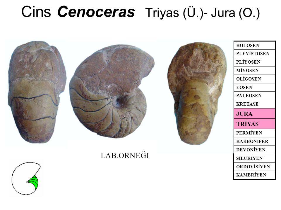 Cins Cenoceras Triyas (Ü.)- Jura (O.)