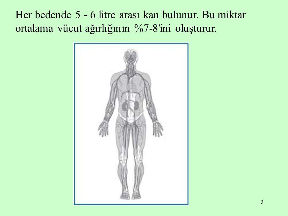 Her bedende 5 - 6 litre arası kan bulunur