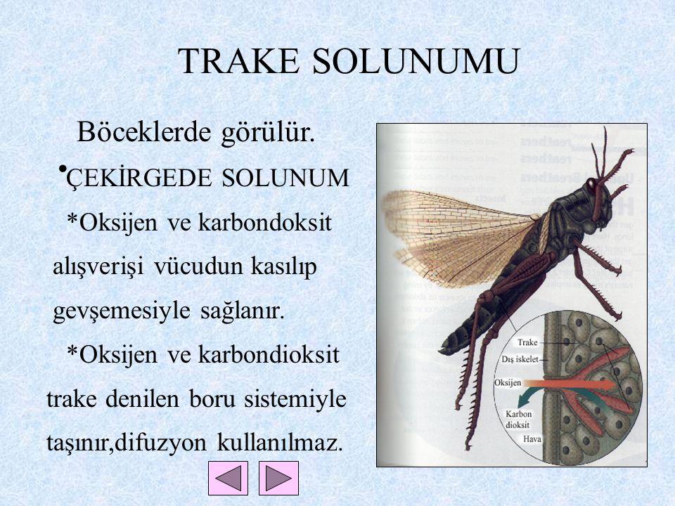 TRAKE SOLUNUMU Böceklerde görülür. ÇEKİRGEDE SOLUNUM