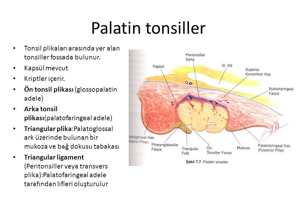 Palatin tonsiller Tonsil plikaları arasında yer alan tonsiller fossada bulunur. Kapsül mevcut. Kriptler içerir.