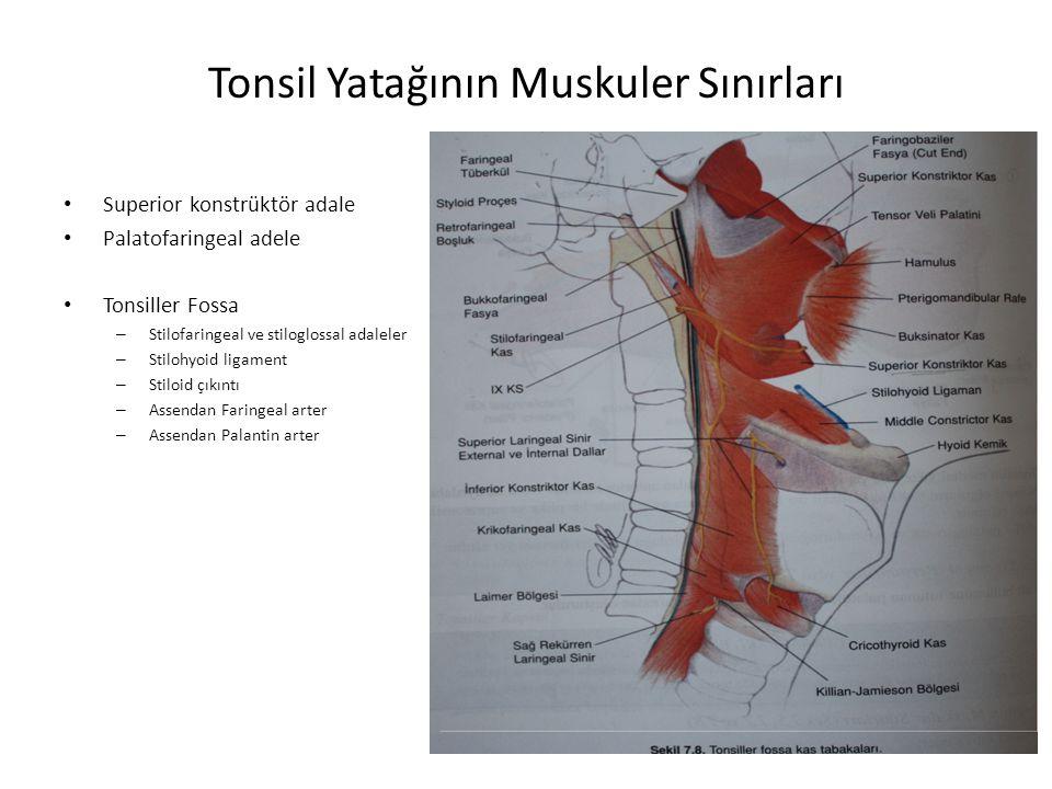 Tonsil Yatağının Muskuler Sınırları