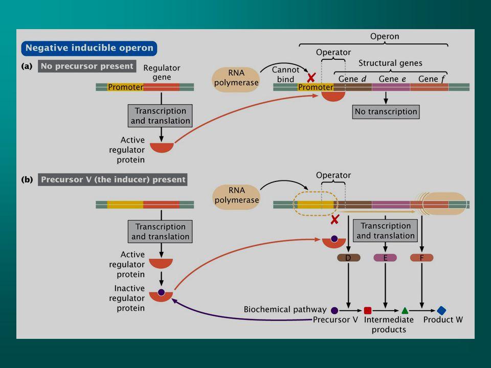 Eğer bir operon sübstratın varlığında (indüser) burada precursor V) regülatör gen tarafından üretilen repressöre bağlanarak aktif repressörü inaktif hale getirir.İnaktif repressör operatöre bağlanamaz ve yapısal genler transkribe olur.Eğer indüser yoksa o sübstartı parçalayacak enzimlere de gerek yoktur.