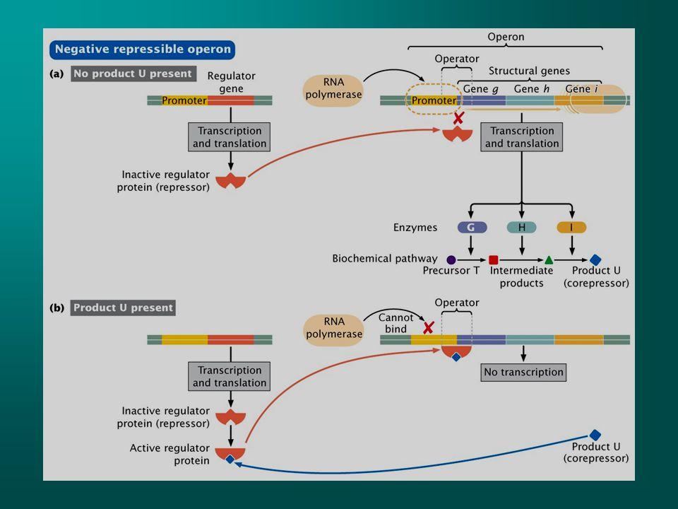 Negatif represe olan operonda regülatör gen tarafından oluşturulan repressör inaktiftir ve operatöre bağlanamaz ve yapısal genler transkribe olur.