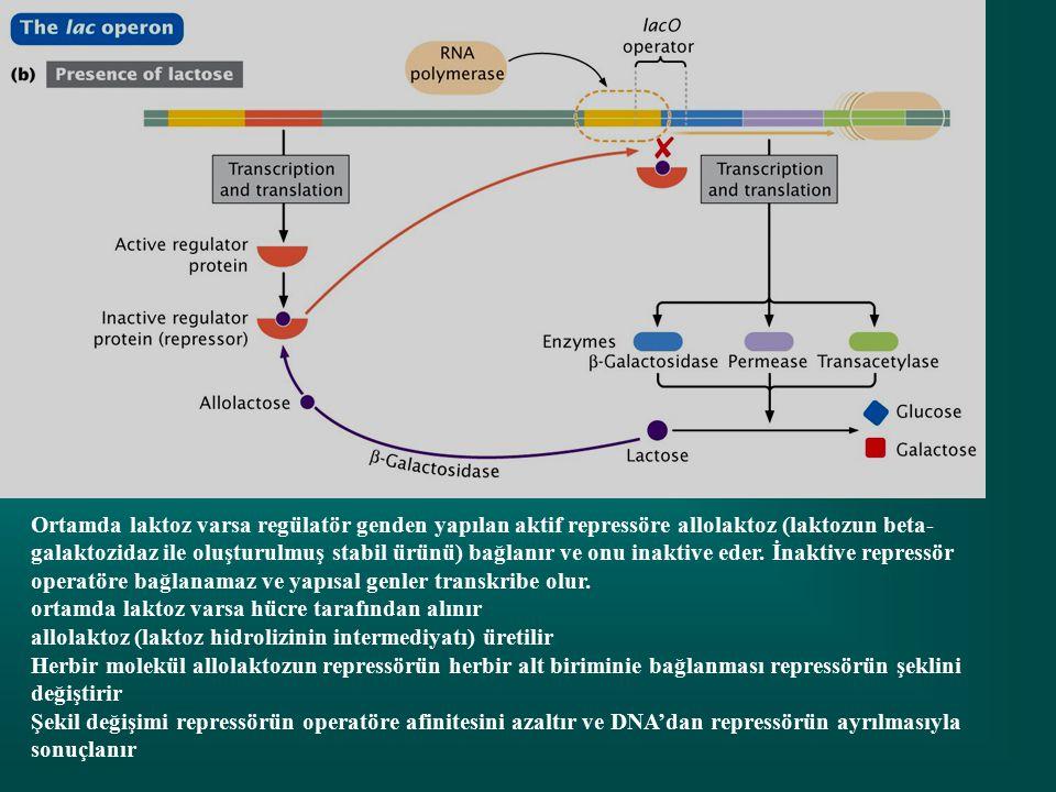 Ortamda laktoz varsa regülatör genden yapılan aktif repressöre allolaktoz (laktozun beta-galaktozidaz ile oluşturulmuş stabil ürünü) bağlanır ve onu inaktive eder. İnaktive repressör operatöre bağlanamaz ve yapısal genler transkribe olur.